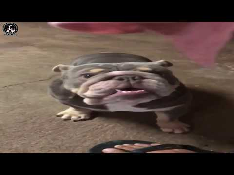 Top 10 exotic dogs of American bully