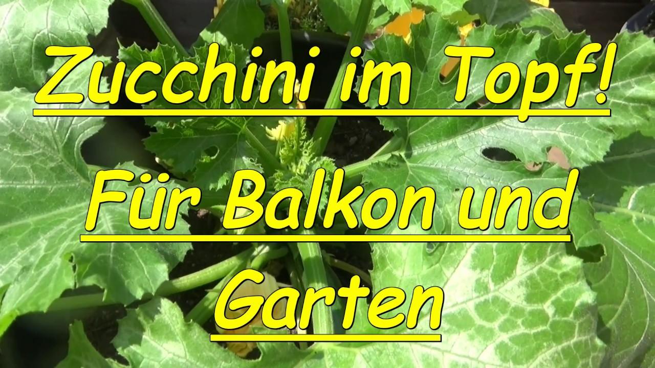 Sehr Balkonzucchini ! Zucchini im Topf ! Neu ! Balkon Terrasse - YouTube LQ18