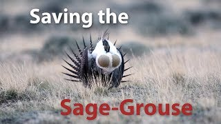 Saving Wyoming's greater sage-grouse