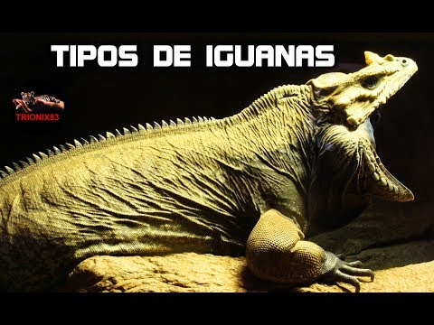 Iguanas gigantes verdes – Las iguanas mas grandes del mundo – TIPOS DE IGUANAS QUE EXISTEN