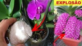 Coloque Arroz em suas Orquídeas e Veja que maravilha vai acontecer