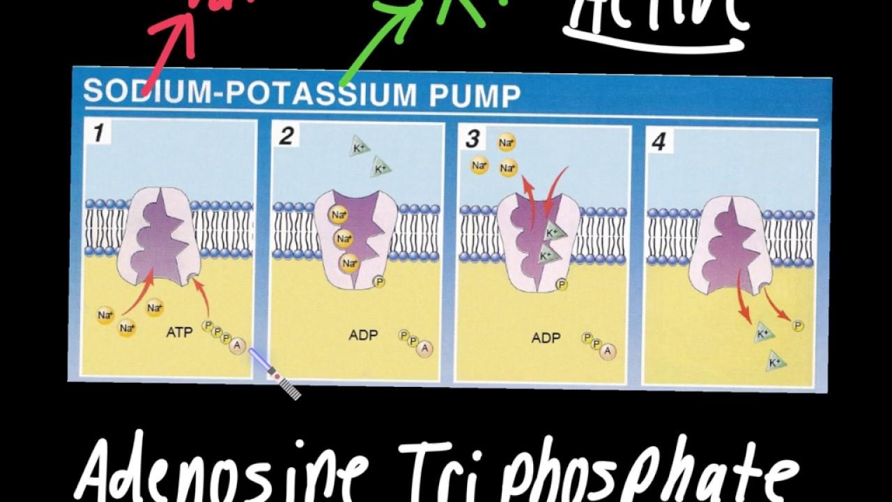 SODIUM POTASSIUM PUMP DOWNLOAD