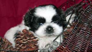 Shih Tzu Puppies 6 Weeks Playing With Toys