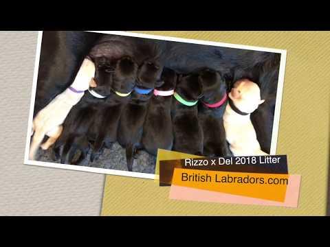 Rizzo Newborn British Labrador...