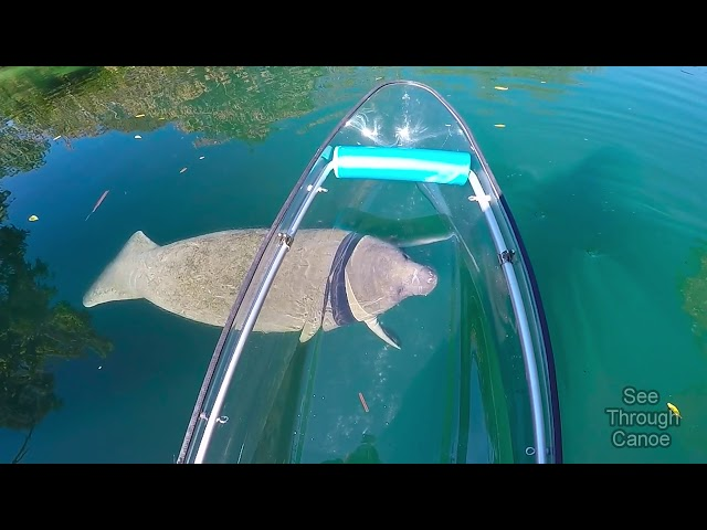 Clear Kayaking in the Crystal Clear Water With Manatees