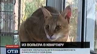 ОТВ, камышовый кот