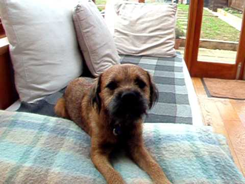 Toby The Border Terrier Singing