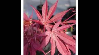 Семена клена японского palmatum Inazuma купить продажа(, 2016-08-14T12:09:04.000Z)