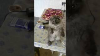 Вислоухий кот 4 месяца