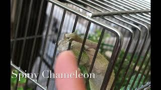 AIS'le スパイニーカメレオン spiny chameleon 握手w
