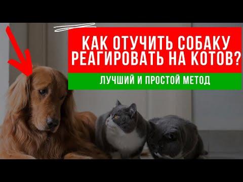 Вопрос: Как отучить собаку охотиться за котом?
