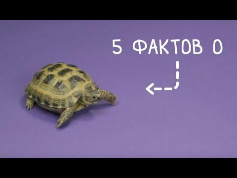 5 фактов о сухопутной черепахе