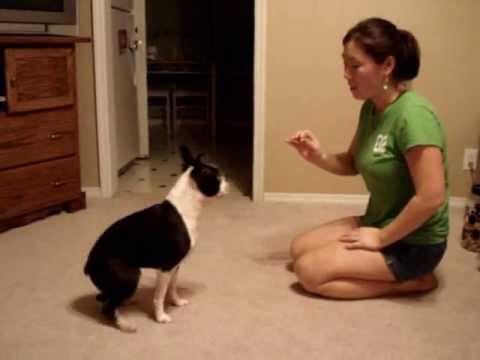 Boston Terrier Tricks