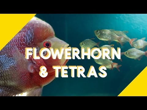 Dither / Target Fish For Flowerhorn: Colombian Tetra