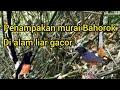 Burung Murai Batu Bahorok Di Alam Liar Gacor  Mp3 - Mp4 Download