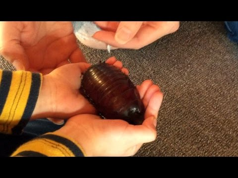WORLD'S LARGEST COCKROACH found in my lounge-room! Only in Australia!