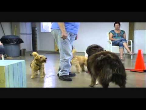 Packs and Pack Leaders Lakeland Terriers make great pack Leaders