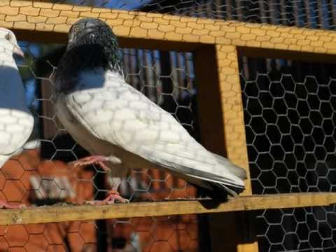 Pakistani Pigeon USA Maryland & Virginia Travel Video