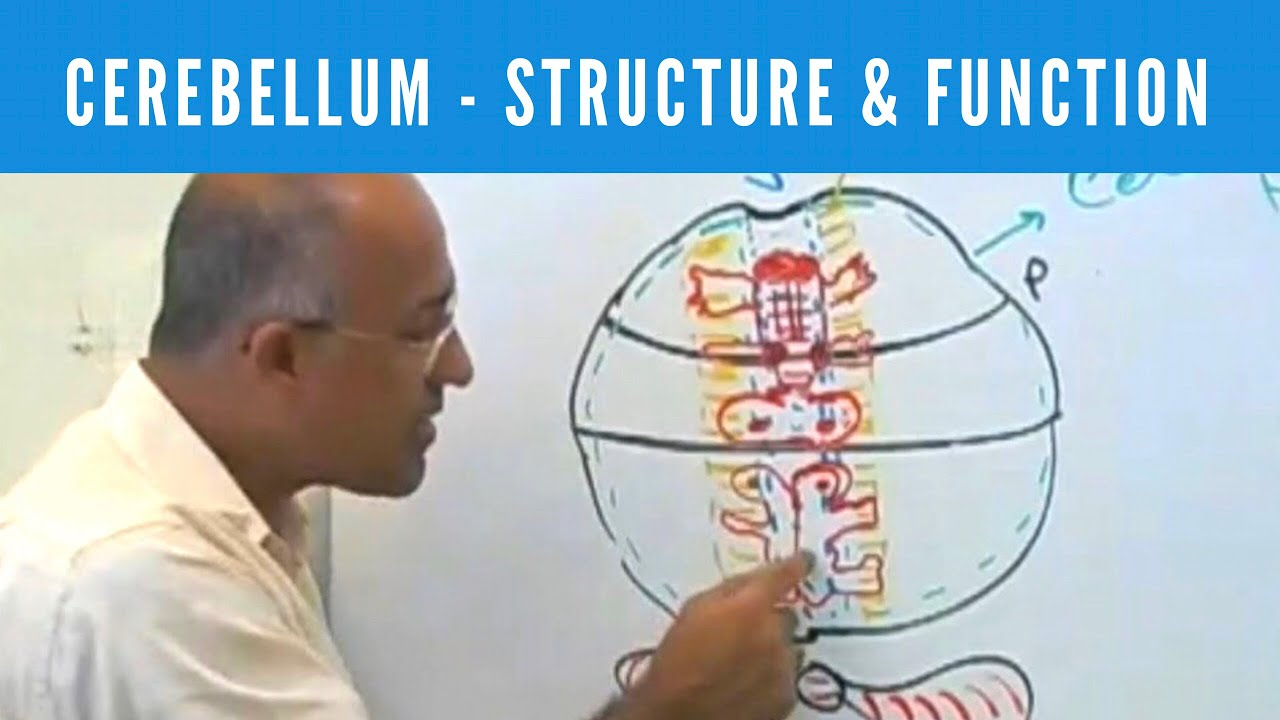 Cerebellum Structure Function Neuroanatomy Youtube
