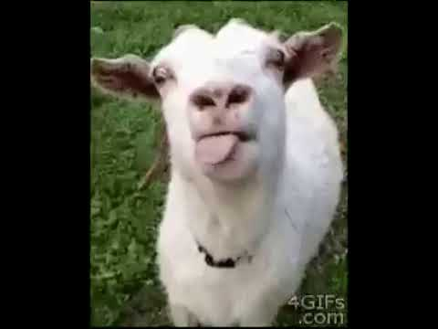 whatsapp funny video try not to laugh (sheep)