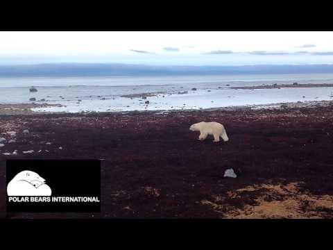 Polar Bear Western Hudson Bay