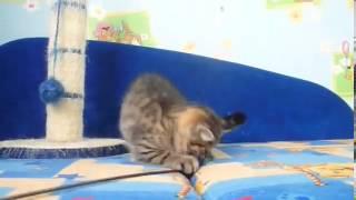 Купить котенка в питомнике Файна Киця