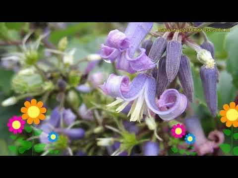 Клематис борщевиколистный. Краткий обзор, описание характеристик, где купить clematis heracleifolia
