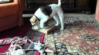 The wire fox terrier Mucki got a present. In the video you can see,...