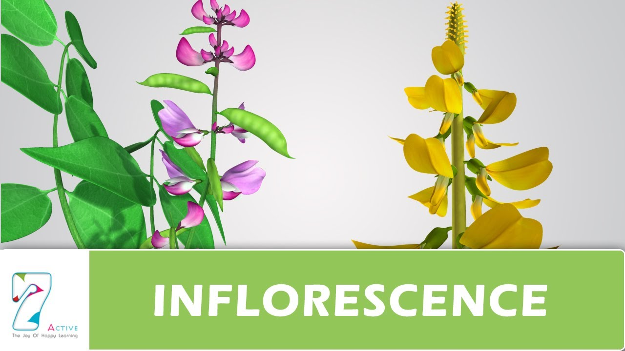 Inflorescence Youtube