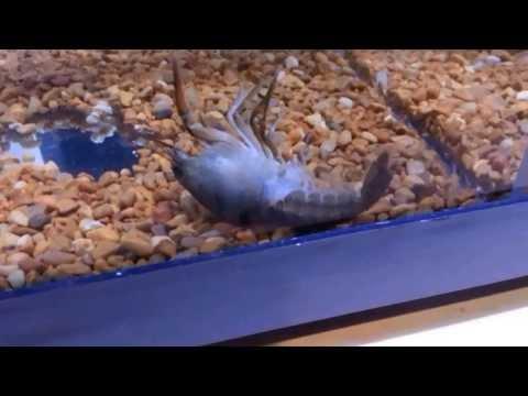 Crayfish Shedding