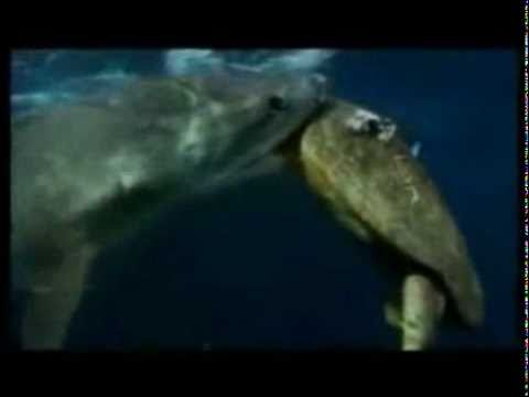 Turtle defending itself from a tiger shark attack - YouTube |Tiger Sharks Attack Turtle