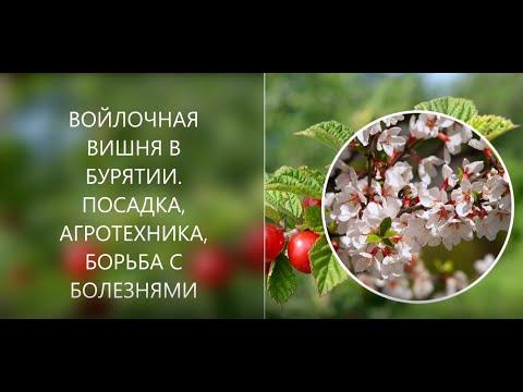 Вопрос: Какие сорта войлочной вишни районированы в Челябинской области?