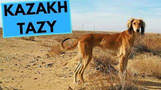Kazakh Tazy  TOP 10 Interesting Facts