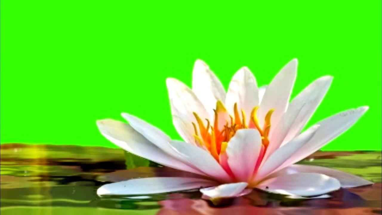 Lotus Flower Effects Gallery Flower Wallpaper Hd