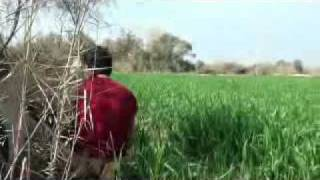 Repeat youtube video Pig Hunting video in Pakistan, soor ka shikar, wild boar hunting with dogs, haveli fight,