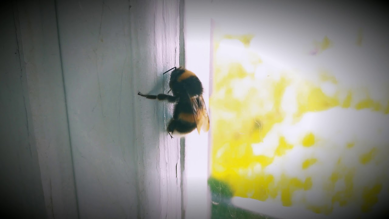 Bumblebee summer twerking