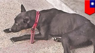 Depressed suicidal dog kills itself by jumping off fourth floor balcony - TomoNews