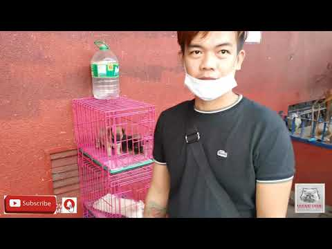 ARRANQUE PETSHOP DOGS PRICELIST MANILA PHILIPPINES W/CUTE AMERICAN BULLY AVAILABLE 01-26-21.vlog#133