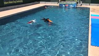 Black Labrador Retriever Sadie & Pit Bull Terrier Border Collie Mix Coco Swim & Jump In Pool