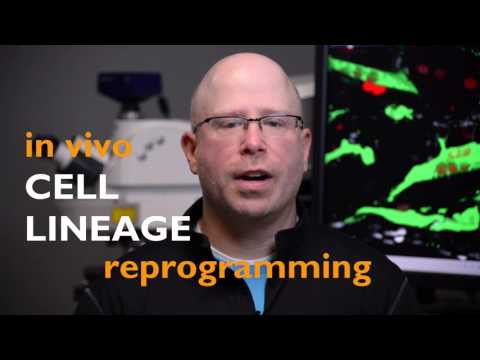 In Vivo Cell Lineage Reprogramming