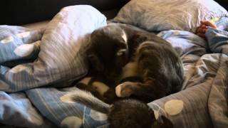 Кошка и шиншилла
