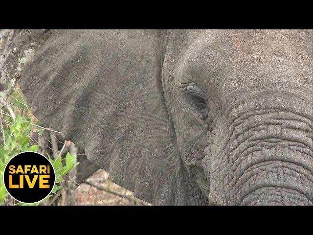 safariLIVE - Sunrise Safari - September 17, 2019
