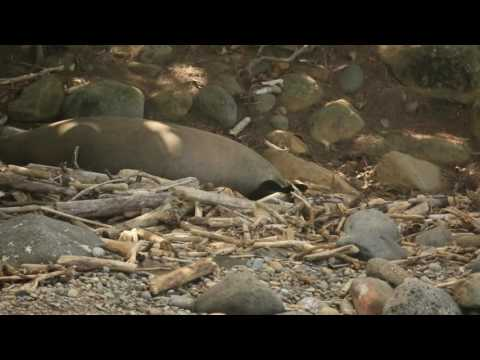 Hawaiian Monk Seal Pup- Big Island of Hawaii Nov. 2016