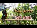 Kolibri Ninja Konin Full Gacor Sangat Ampuh Buat Masteran  Mp3 - Mp4 Download