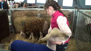 Stevens girl shows champion ewe at PA Farm Show