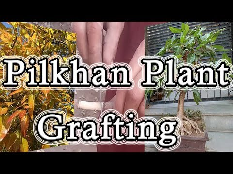 How To Grafting Pilkhan Plant Very Easy With Fully Guidance Tips & Tricks