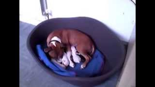Staffordshire Bull Terrier (macey) And Her Cute Newborn Puppies (eight) : Born 29/03/2011