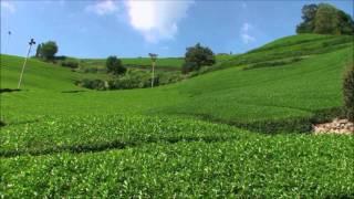 茶摘み - クラウン少女合唱団