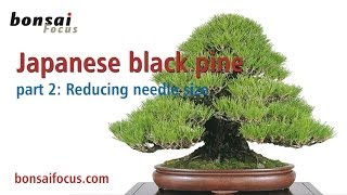 Japanese black pine PART 2 REDUCING THE NEEDLE SIZE