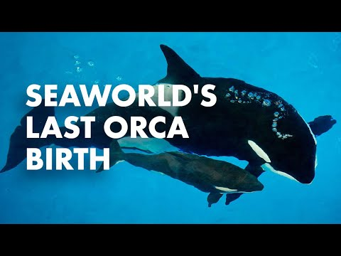 Takara's Calf Has Arrived! | SeaWorld®